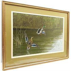 Rex Flood (British 1928-2009): Mallards Rising, oil on board signed 34cm x 52cm